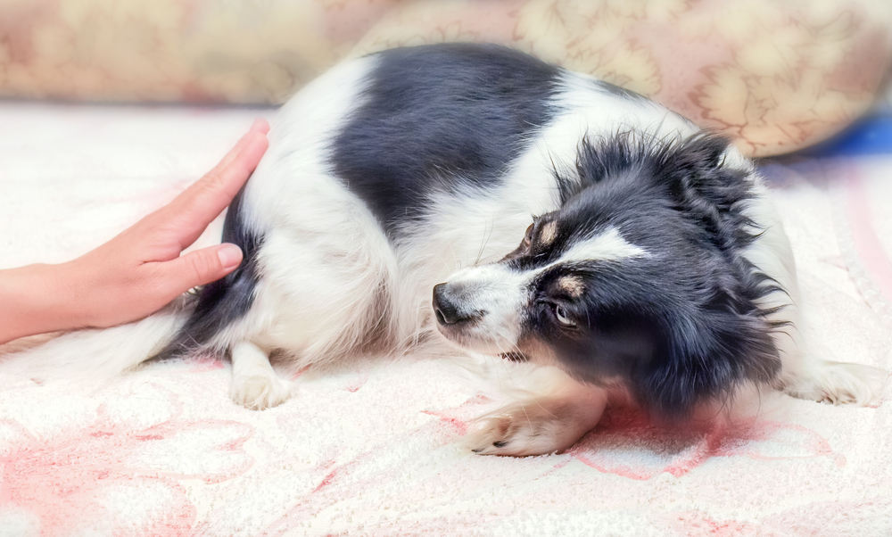dog shaking and other canine anxiety symptoms